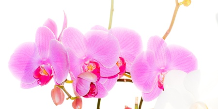 spring orchid blossom Stock Photo - 12534597