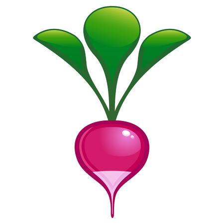 vector illustration of garden radish Vector