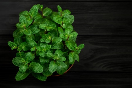 Green mint plant grow in a pot on black wooden background shallow depth of field, soft focus