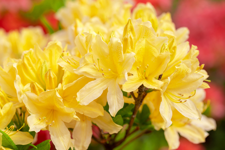 Yellow azalea blossom. Beautiful flowers. - Image