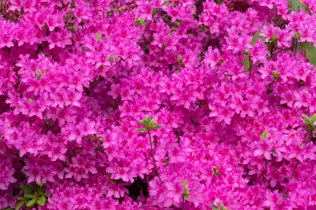 Pink azalea blossom. Background full of flowers. - Image Banco de Imagens