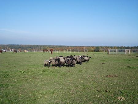 Sheep on pasture Reklamní fotografie