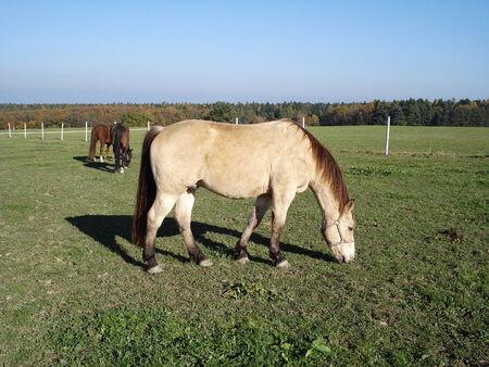 buckskin horse: Beige, buckskin horse in the meadow Stock Photo