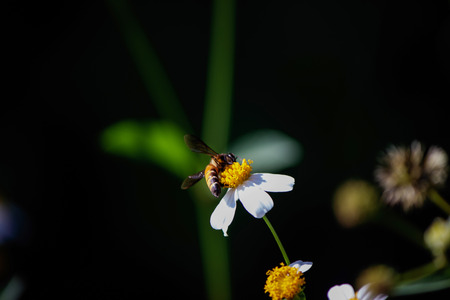 smal: A bee on white flower Stock Photo
