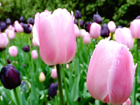 Pink and Black Tulips Stok Fotoğraf