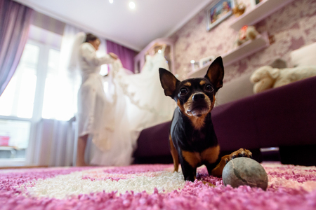 cute little doggy looking with big eyes on background of bride in room Stock Photo
