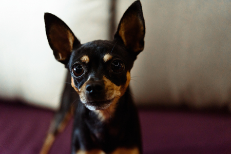 toyterrier: cute little doggy looking with big eyes on background of room