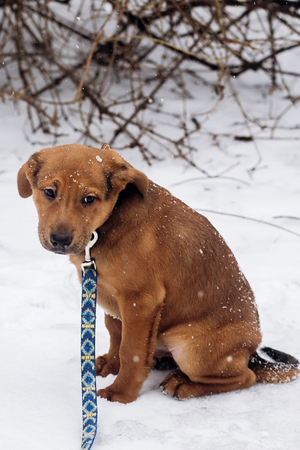 little puppy sitting alone in snowy cold winter park. adoption concept. save animals. space for text. sweet moment. brown doggy with leash