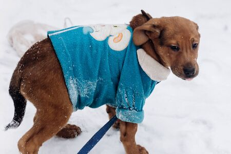 cute little brown puppy in blue sweater walking in snowy cold winter park. adoption concept. save animals. space for text