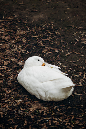 ugly duckling: Close-up of cute white duck resting on the ground, farm animal - white duck sitting in the dirt in the countryside, ugly duckling concept