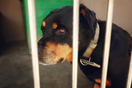 cute rotweiler dog in shelter cage with crying eyes, sad emotional moment, adopt me concept, space for text Stok Fotoğraf