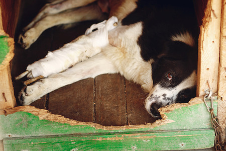 sad dog with injured paw with bandage in shelter cage with crying eyes , emotional moment, adopt me concept, space for text