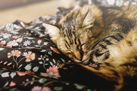 cat grooming: cute brown tabby sleeping on bed, adorable sweet moment, space for text Stock Photo