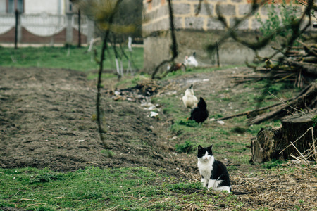roster: group of chickens and cat in farm land, spring time, agriculture concept