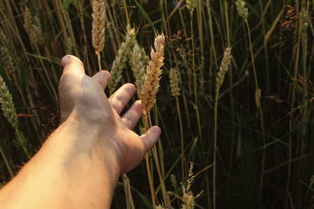 Hand der Frau, die im Sommerabend bei Sonnenuntergang zu Weizen im Feld erreicht Standard-Bild - 75466609