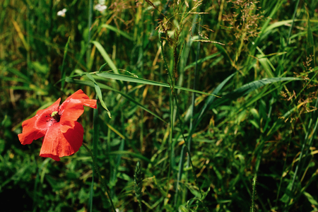 beautiful red poppy at green rye or wheat field, summer wallpaper