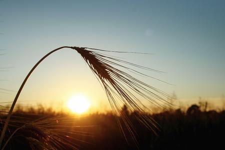 Schattenbild des Roggenweizens an den Strahlen im erstaunlichen Sonnenscheinmoment am Sommerabend, ruhig und atmosphärisch Standard-Bild - 75331459
