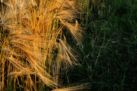 beautiful rye wheat field in amazing sunshine moment in summer evening, calm and atmospheric