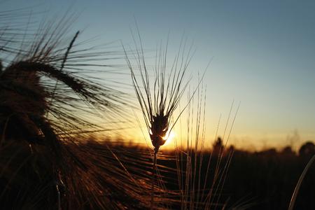 Schattenbild des Roggenweizens an den Strahlen im erstaunlichen Sonnenscheinmoment am Sommerabend, ruhig und atmosphärisch Standard-Bild - 75331426