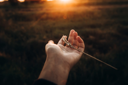 earth day concept. ear in hand in sunset rays in summer evening field. farmers and farmland. love to land. atmospheric moment. save environment. hope and light