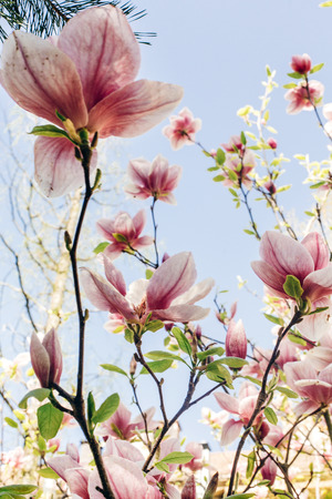 beautiful magnolia pink flowers on branches in sunny park. tender beauty of blooming tree in botanical garden in spring.space for text. amazing moment. save environment. springtime Banco de Imagens - 75737403