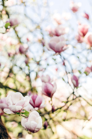 beautiful magnolia pink flowers on branches in sunny sky. tender blooming tree in botanical garden in spring.space for text. amazing moment. save environment