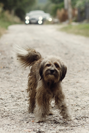 Cute small grey stray dog walking on dirt road outdoors in front of wedding car procession, friendly old dog looking