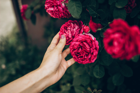 woman hand holding beautiful purple pink roses. hipster girl touching amazing beauty flower. space for text. gardening in summer. atmospheric moment