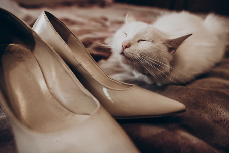 cat grooming: cute white cat with funny emotion and beige stylish shoes on bed, brides morning. wedding preparation in home. space for text. family concept. funny kitten