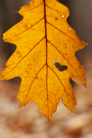 beautiful yellow autumn leaf with heart shaped tear hanging on the background of autumn sunny forest