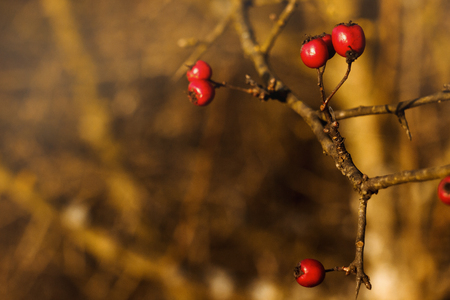 beautiful natural fresh red berries of hawthorn on a branch on the background of autumn forest