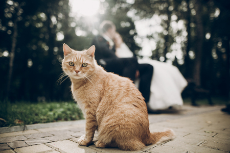 cute red homeless cat looking forward and bride and groom kissing on background in park. kitten in sunlight posing. funny moment Stock Photo