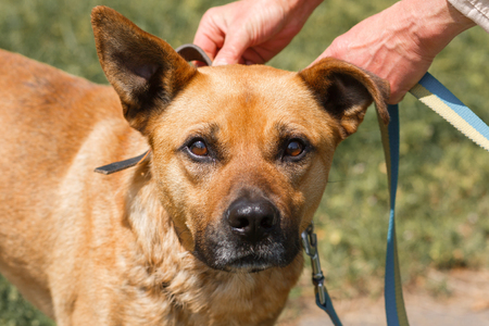 Face close-up of cute sad dog with funny ears, mixed breed brown dog looking at the camera, animal adoption concept