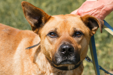 fondling: Face close-up of cute sad dog with funny ears, mixed breed brown dog looking at the camera, animal adoption concept
