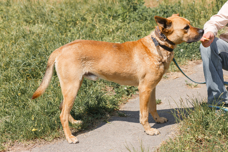 Friendly female owner feeding cute brown dog, mixed breed dog on a leash walking in the park, animal shelter concept