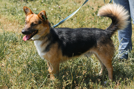 Cute german shepherd puppy smiling outdoors while on a walk in the park, happy brown dog - animal adoption concept