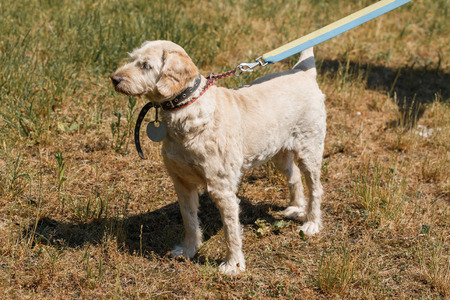 Serious loyal old dog on a leash in the park, white fluffy dog walking outdoors, animal shelter concept Stock Photo