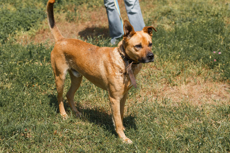 Strong brown dog walking outdoors in the park, mixed bred dog with cute ears on the grass, animal shelter concept