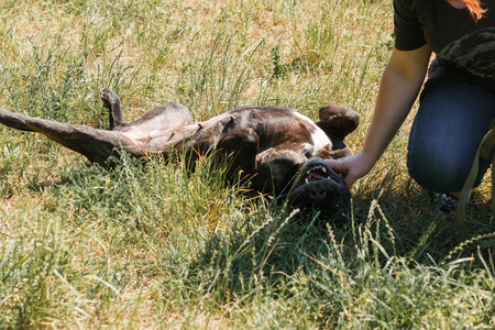 fondling: Happy black bulldog rolling around in the grass while being pet by owner, smiling dog lying on the ground playing with woman Stock Photo