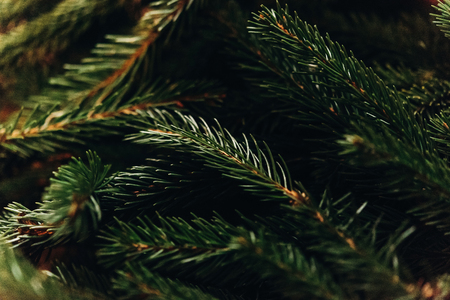 green fir branches. decorating christmas tree in room. home preparation. rustic concept