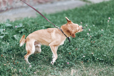 Cute dog shaking head because of itch, animal hygiene concept, happy brown dog on a leash acting crazy outdoors in a park
