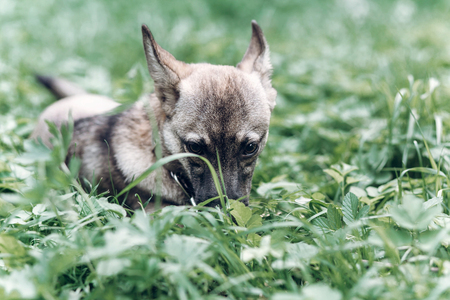 Adorable little dog eating grass outdoors, cute grey puppy portait lying in the grass in the park, animal food concept
