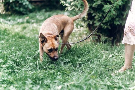 Cautious dog sniffing the ground while on a walk with owner, cute brown dog outdoors portrait, animal shelter concept