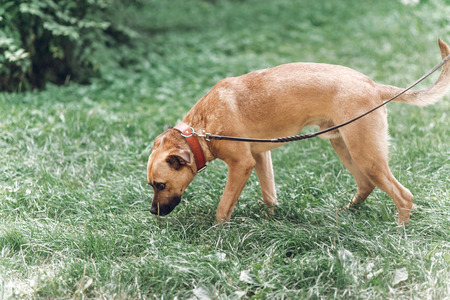 Cute search dog sniffing the grass in the park, sad dog on a leash in the park, animal adoption concept