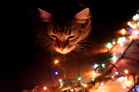 cute sweet tabby cat with interest looking at christmas colorful garland, holiday concept
