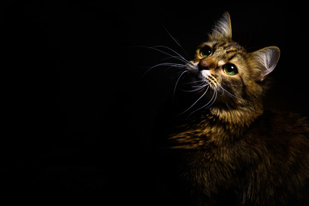 cute sweet tabby cat with interesting wise look on black background Stock Photo - 84193895