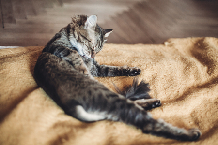 beautiful cat licking and washing itself on stylish yellow blanket with funny emotions in rustic room. cute tabby grooming and cleaning fur. space for text. grooming concept