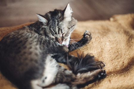 beautiful cat licking his paw on stylish yellow blanket with funny emotions in rustic room. cute tabby grooming and washing itself, cleaning fur. space for text