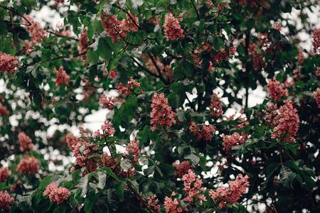公園内の木の緑の開花枝にピンクの栗の花。環境コンセプト。テキストのためのスペース。春。こんにちは春 写真素材 - 85099919