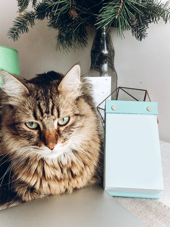 cute cat sitting on table. maine coon with funny look and emotions sitting on table at empty card or calender